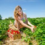 Auto-cueillette des fraises