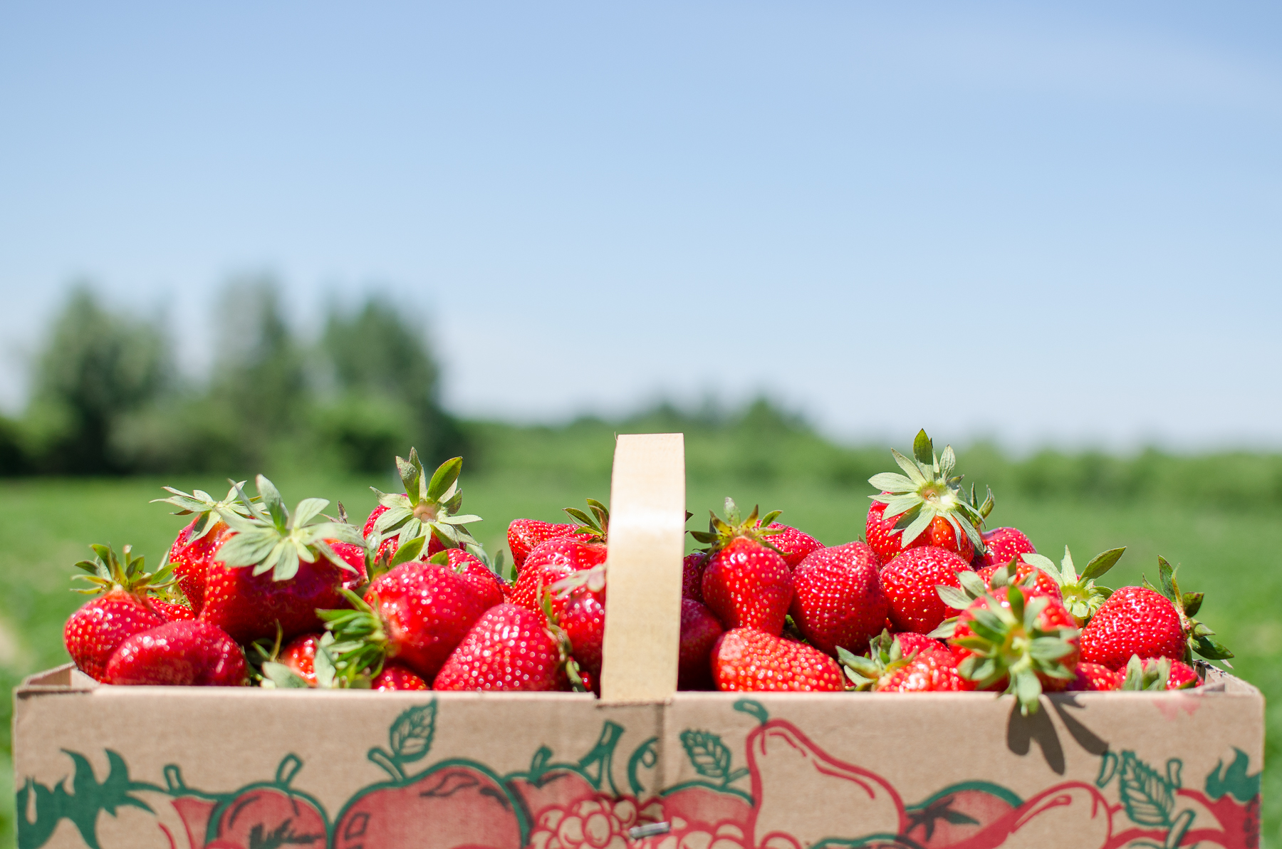 Auto-cueillette des fraises au Potager Mont-Rouge